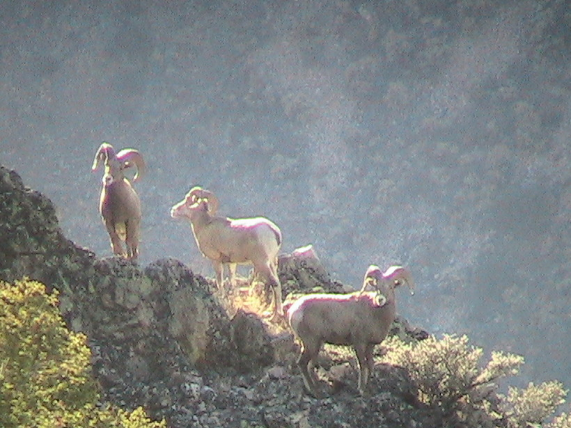 Rams on side of mountain