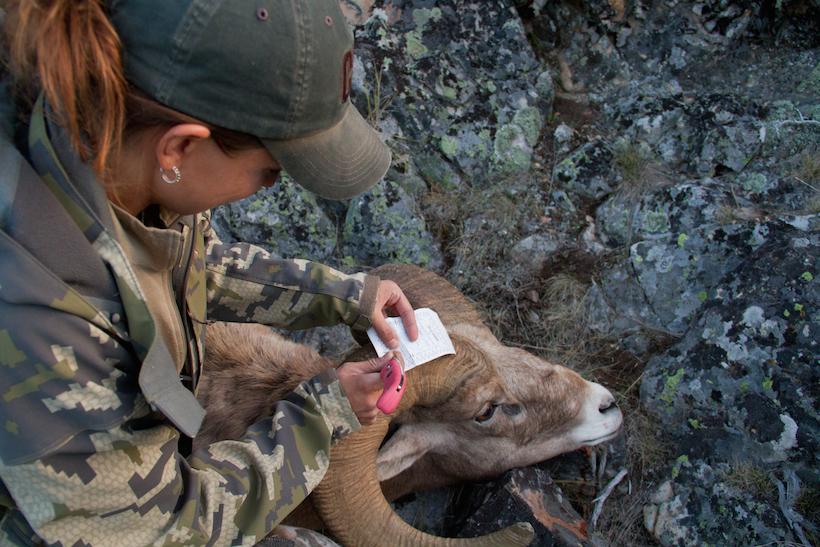 Notching Bighorn tag