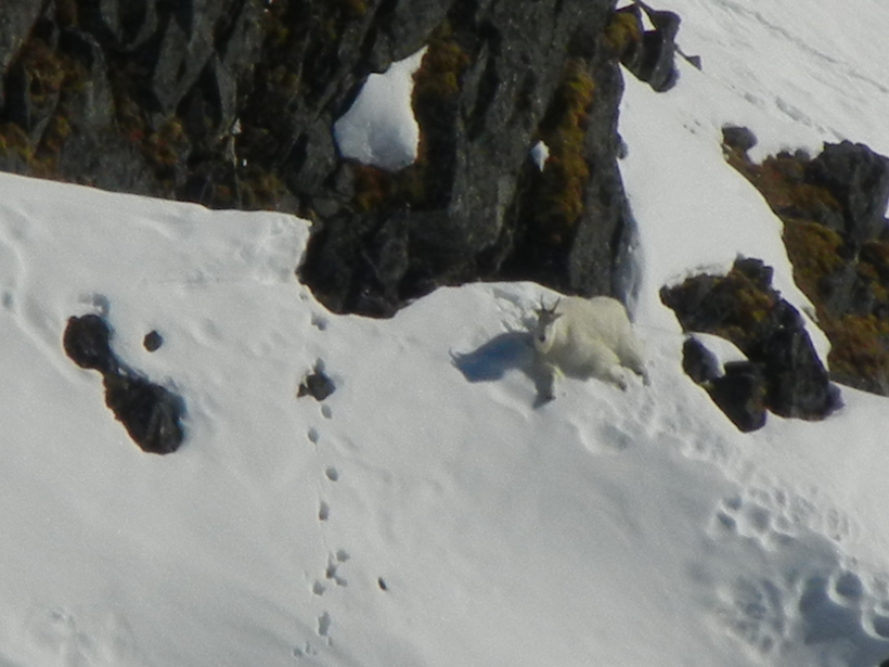 Large mountain goat bedded