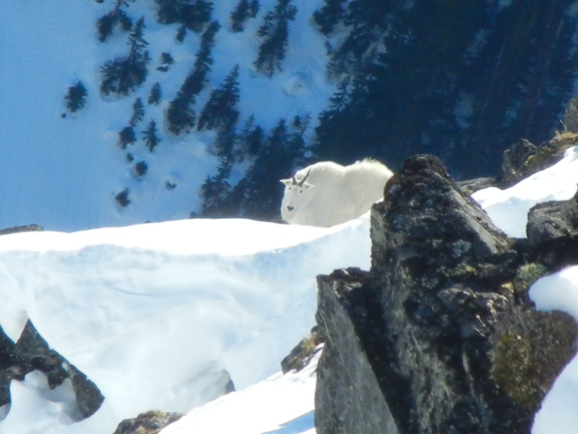 Mountain goat above avalanche chute