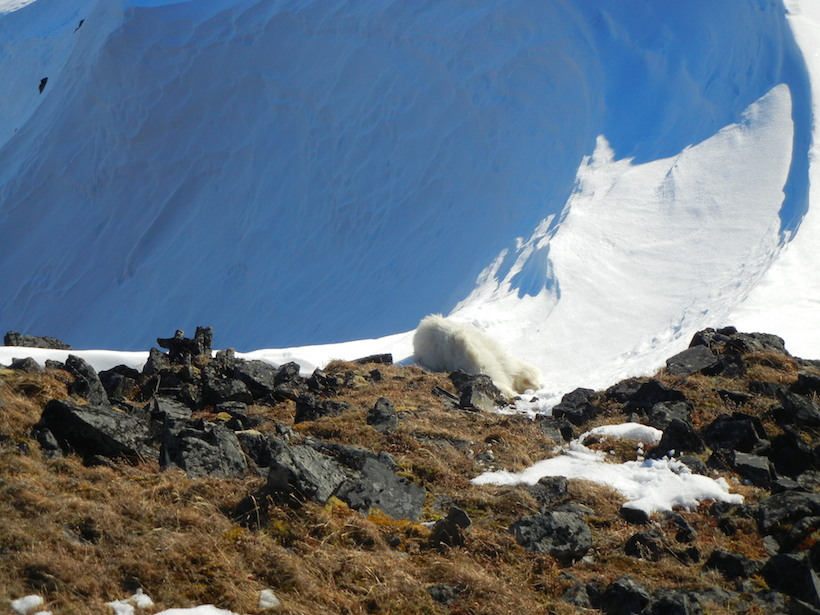 Goat came to rest just before sliding down avalanche chute