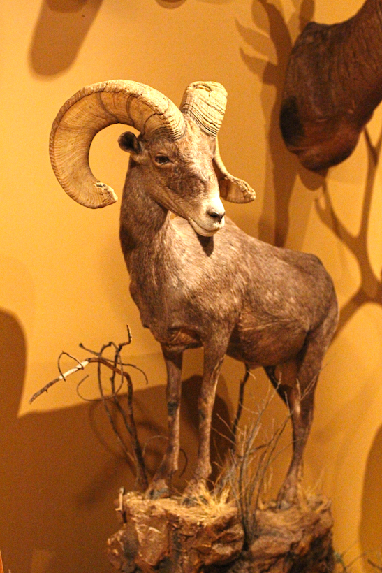Full body mount of the ram