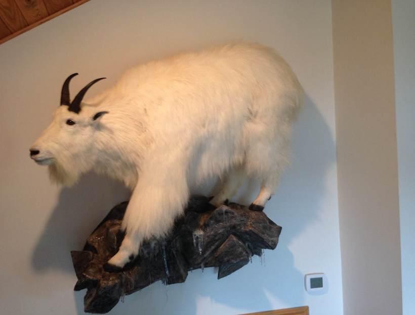 Mountain goat full body mount