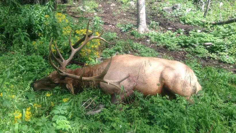 Aaron Purdys 2016 New Mexico bull elk