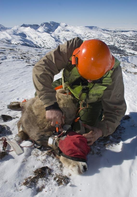 Attaching a GPS collar to a bighorn sheep