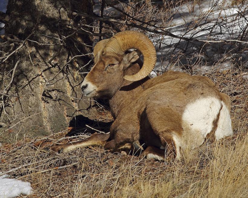 Bighorn sheep bedded