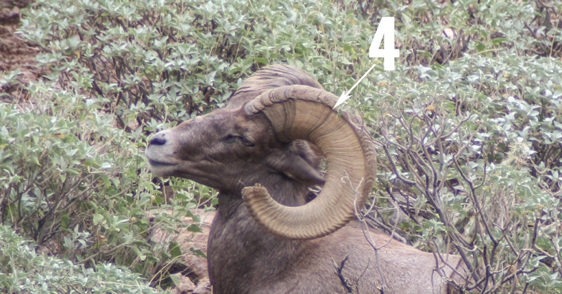 Bighorn sheep four year annuli ring for aging