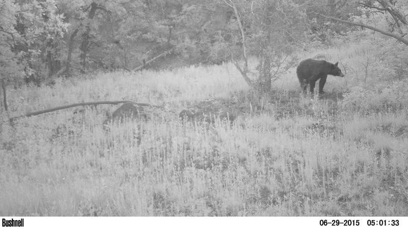 Black bear on trail camera