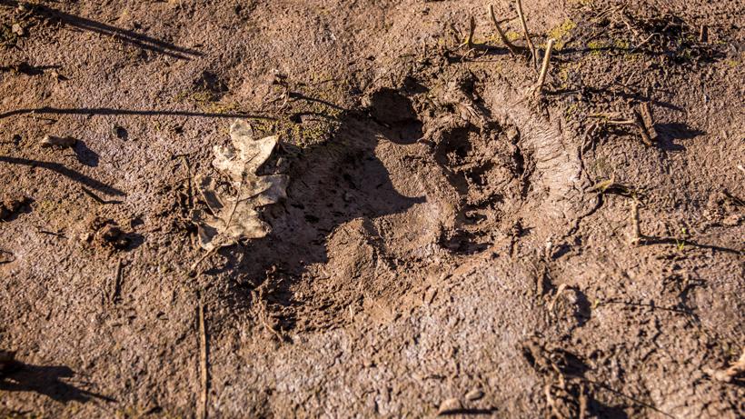 Black bear track in mud