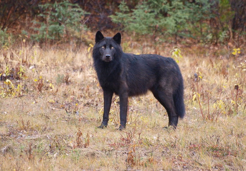Black  colored wolf