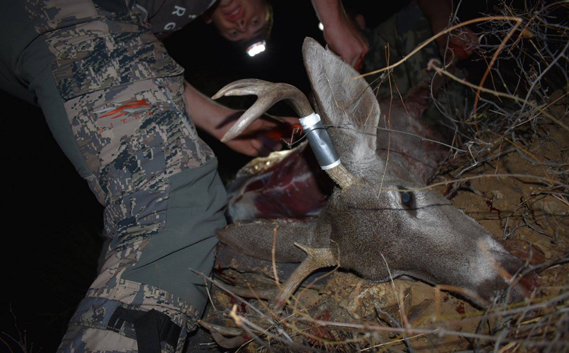 Cutting up Coues deer meat