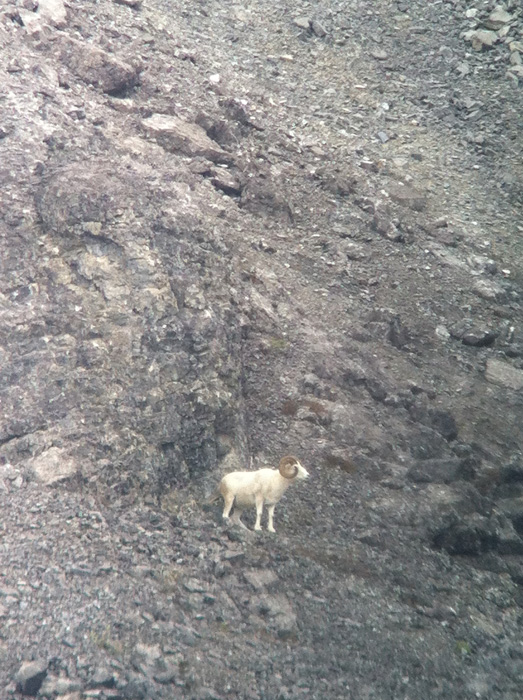 Dall sheep standing near rocky cliffs