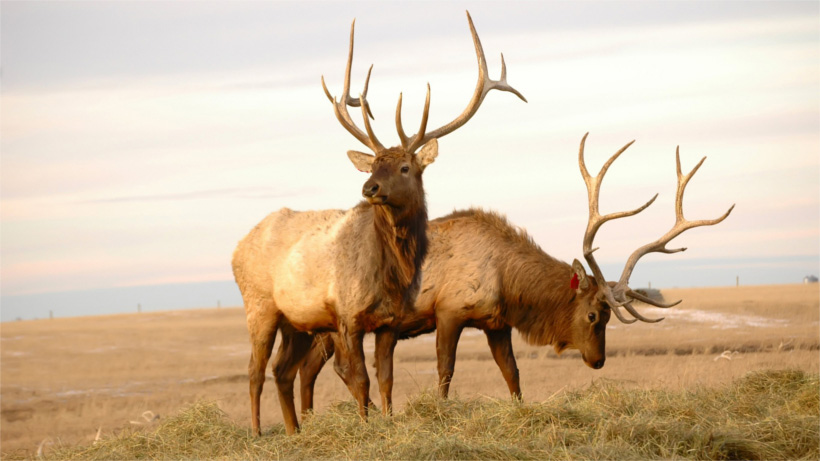 Two elk in field