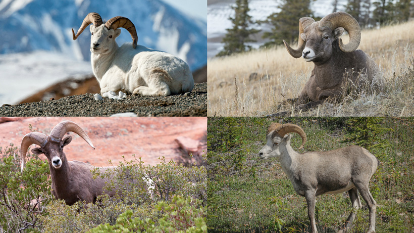 Four sheep species in North America
