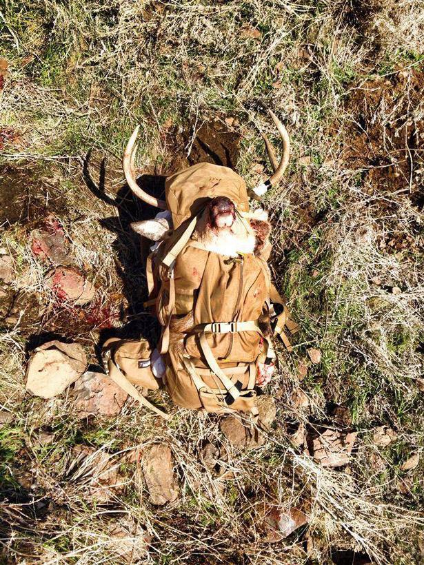 Buck loaded in pack