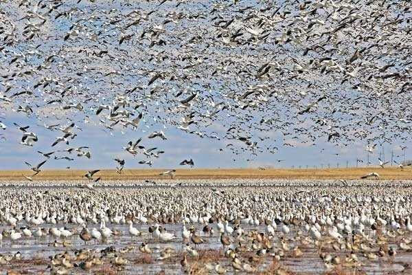 Vast numbers of waterfowl overpopulate a water source.