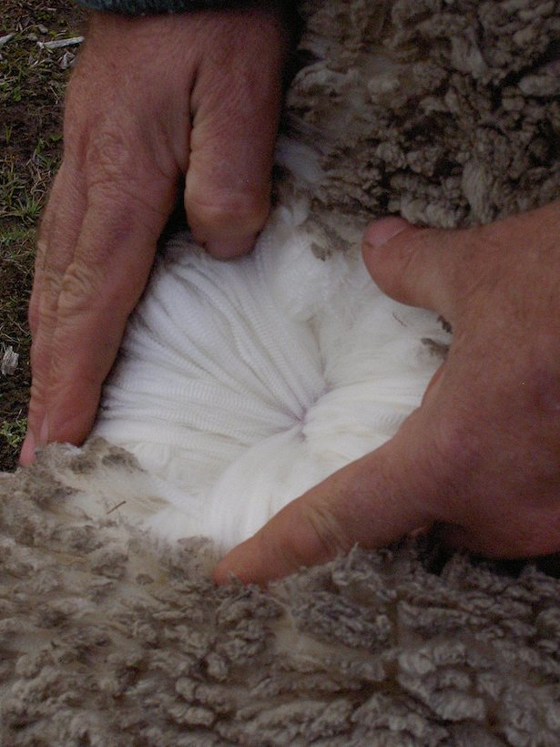 Merino sheep wool