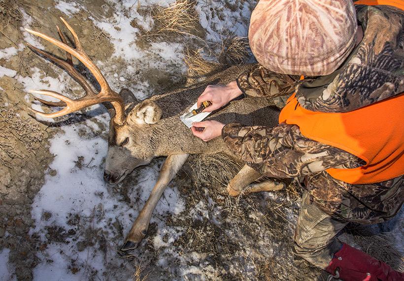 Montana mule deer buck