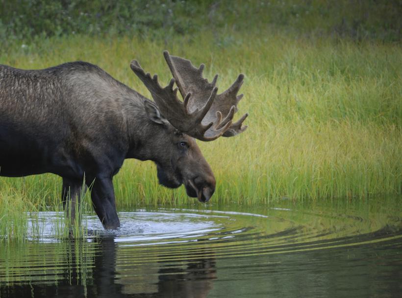 Moose population a concern near Kenai Peninsula