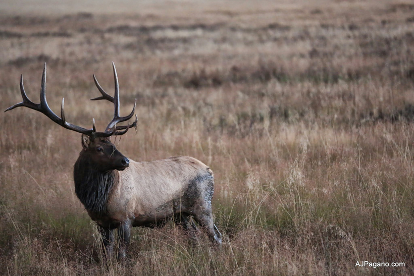 Colorado bull elk near wallow
