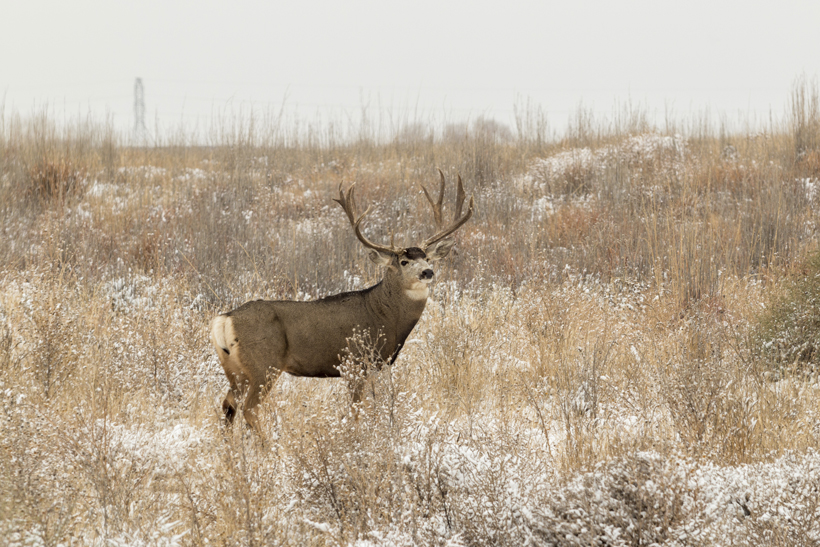 Mule deer buck in the snow