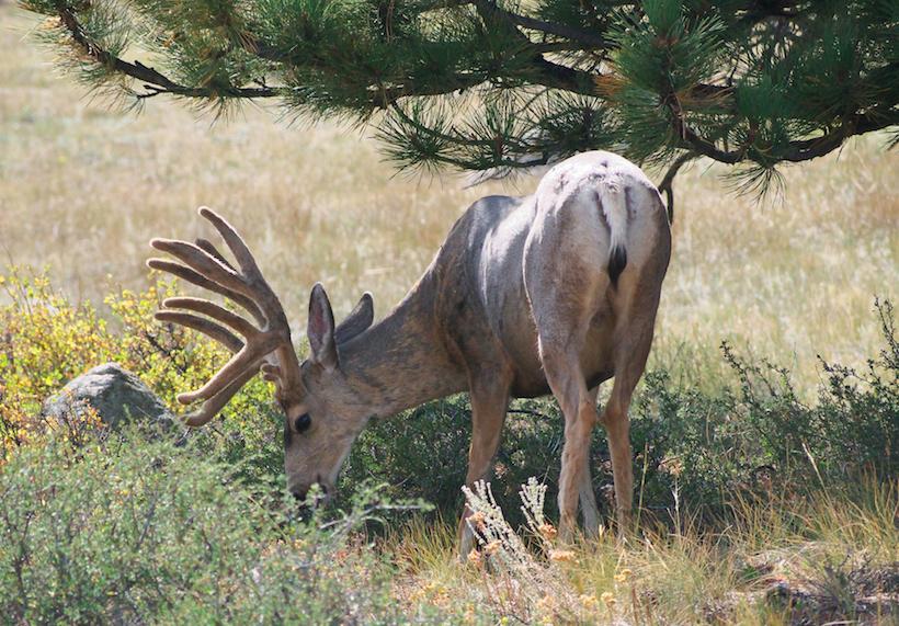 Mule deer velvet
