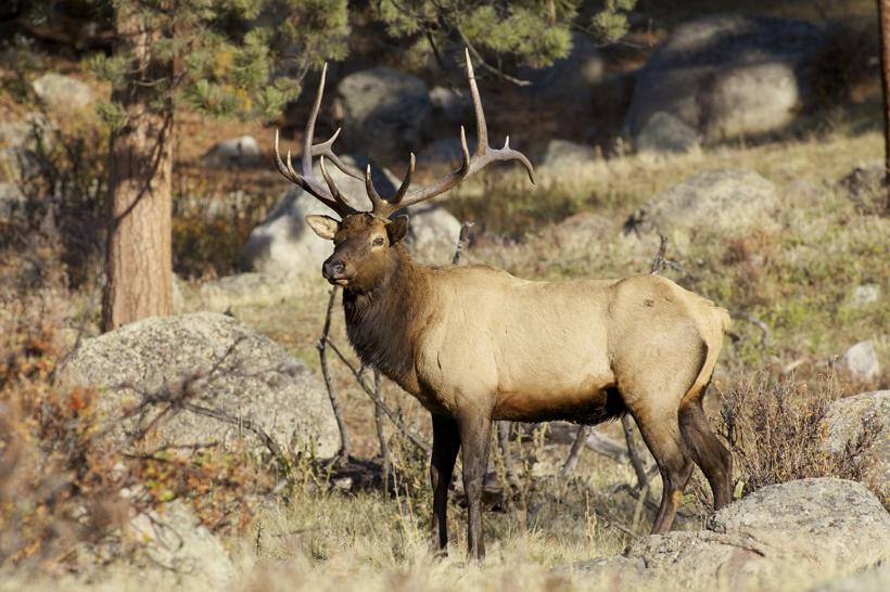 New Mexico bull elk