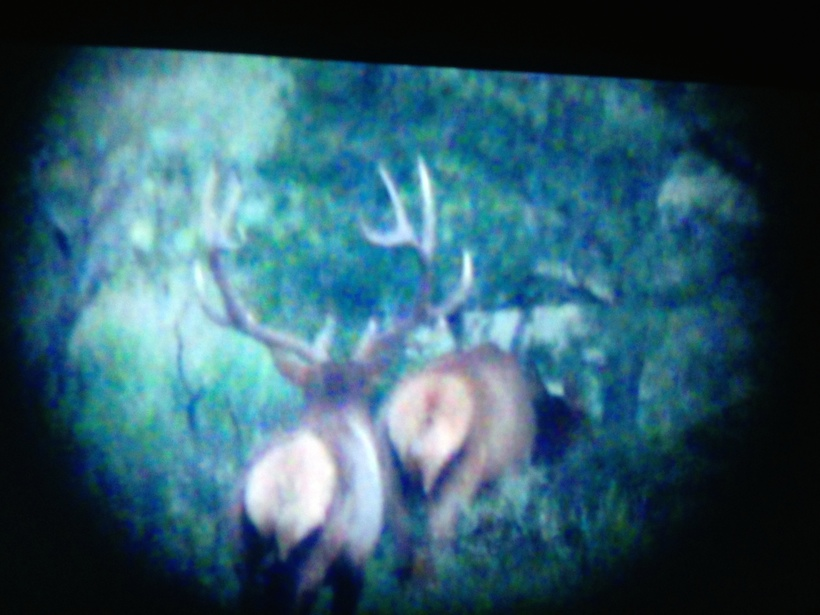 Elk digiscope picture