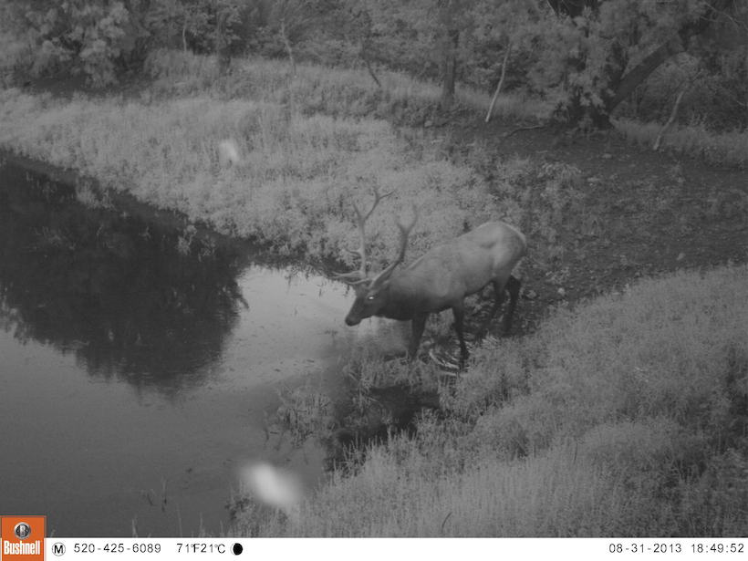 Elk on the trail camera