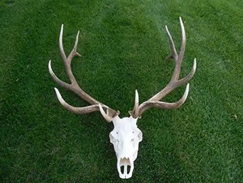 Poached bull elk