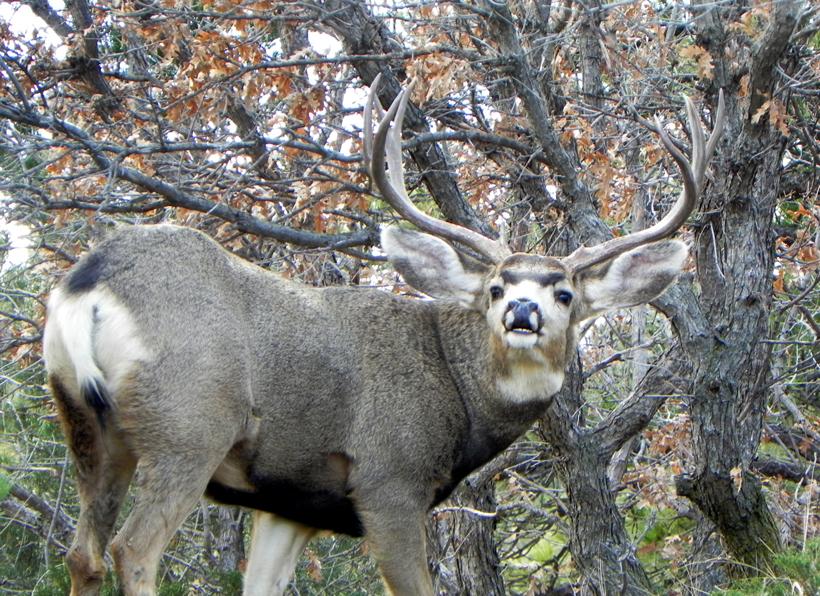 Rutting mule deer buck