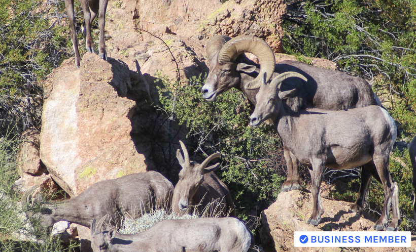 How To Accurately Age Bighorn Sheep Wild Sheep Foundation Midwest