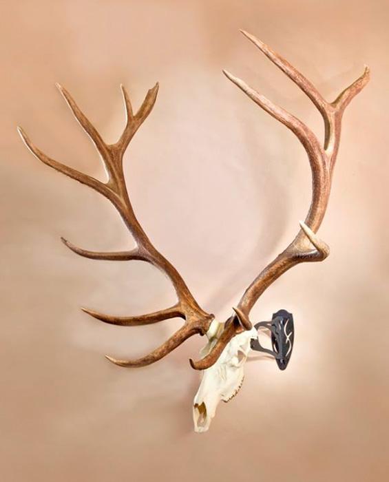 Skull Hooker mount holding up bull elk