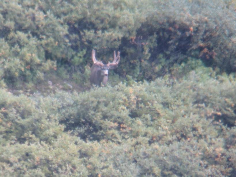 Summer velvet mule deer