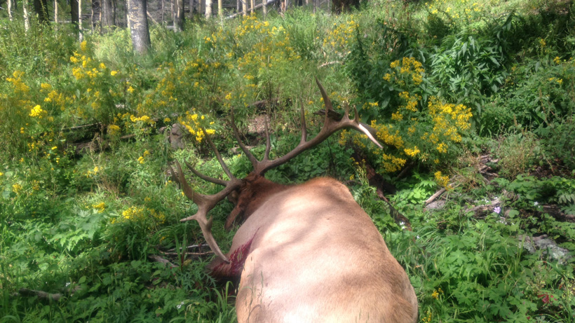 Walking up on a New Mexico archery bull elk