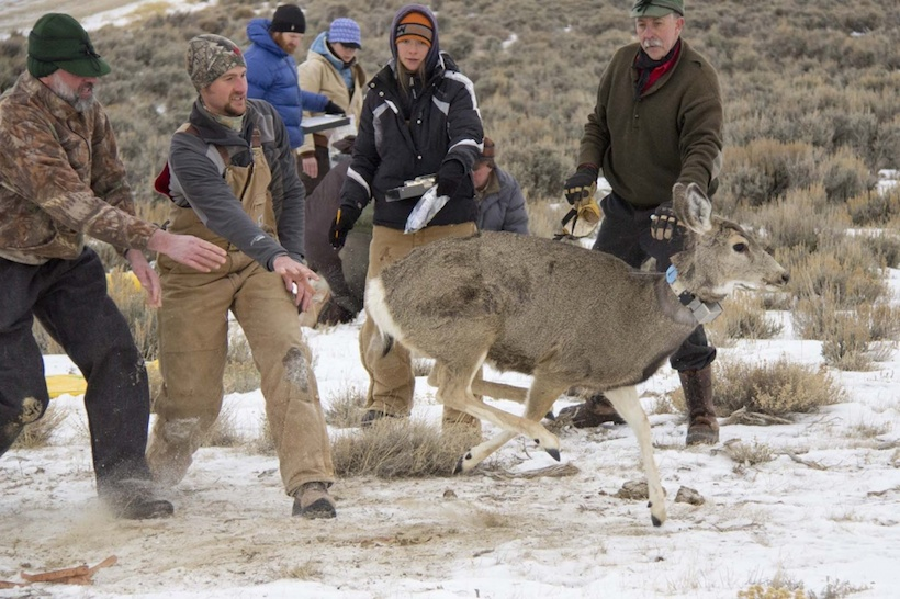 Energy development displaces elk mule deer gohunt for Wyo game fish