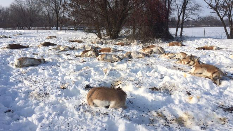 Herd of pronghorn dead after ingesting Japanese Yew