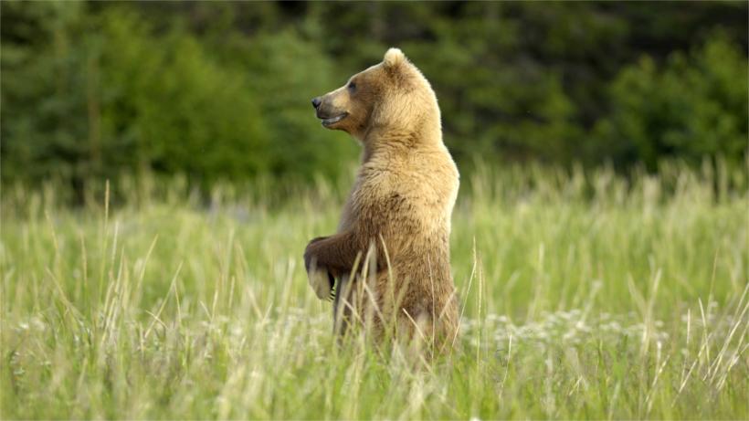 Bear standing in field