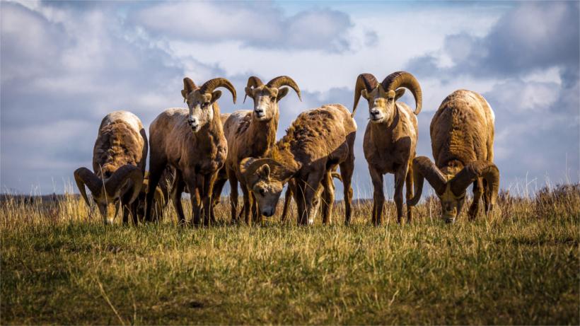 Multiple bighorn in field