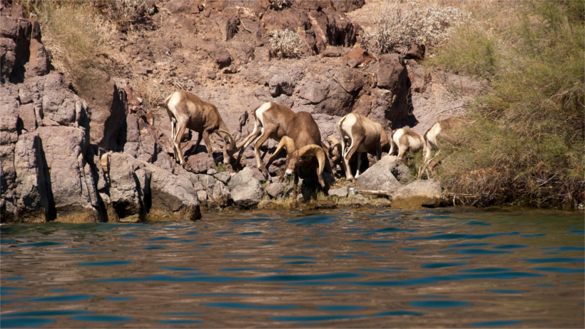 Herd of bighorn by water