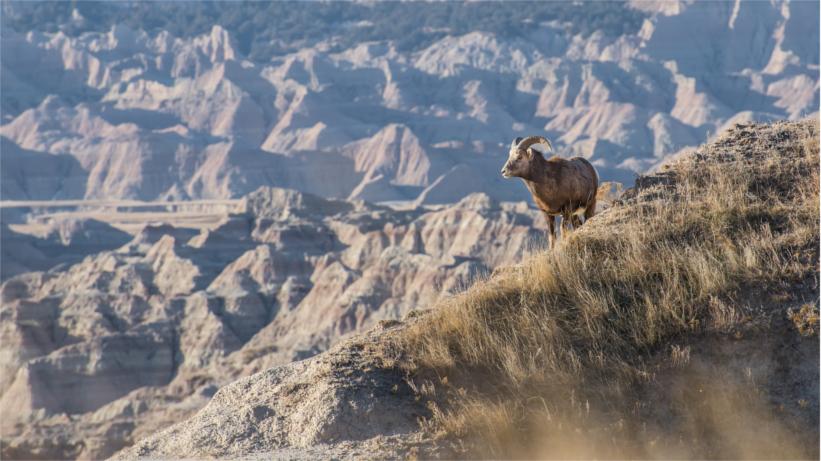 Rocky mountain bighorn on hillside
