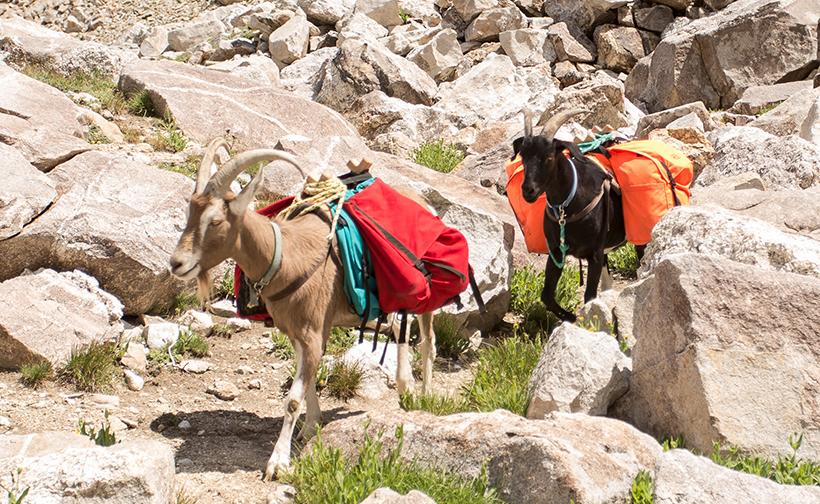 Dave Loescher's pack goats