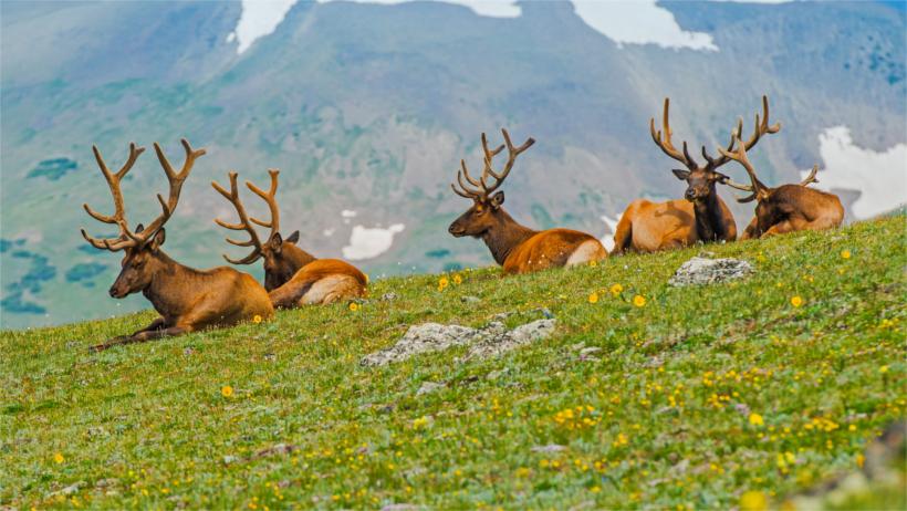 Elk sitting in field