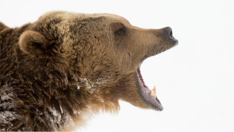 Roaring grizzly