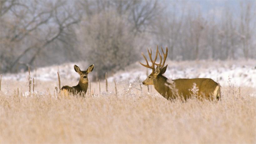 Two mule deer in winter field