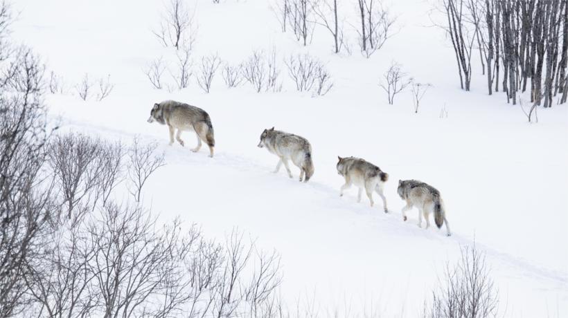 4 wolves walking through snow