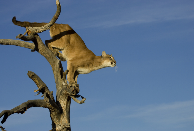 Science Drives Wyoming Mountain Lion Populations Gohunt