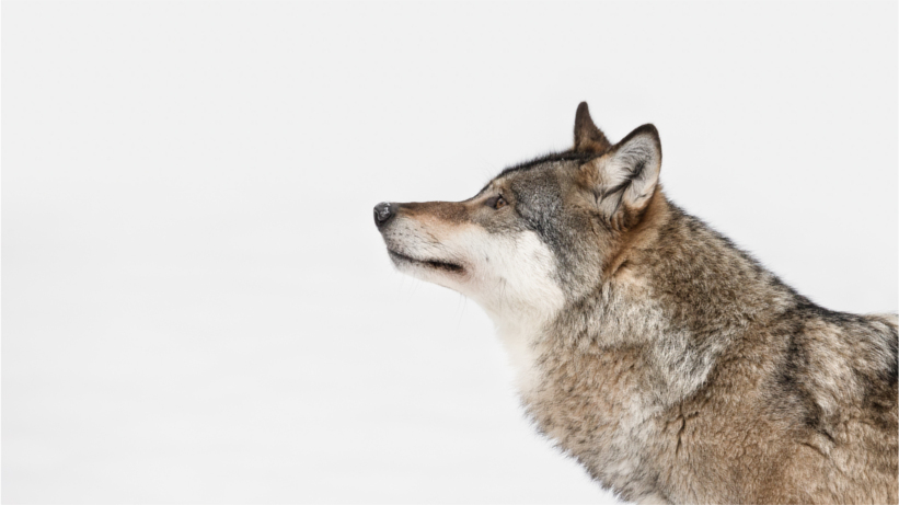 Wolf looking into distance