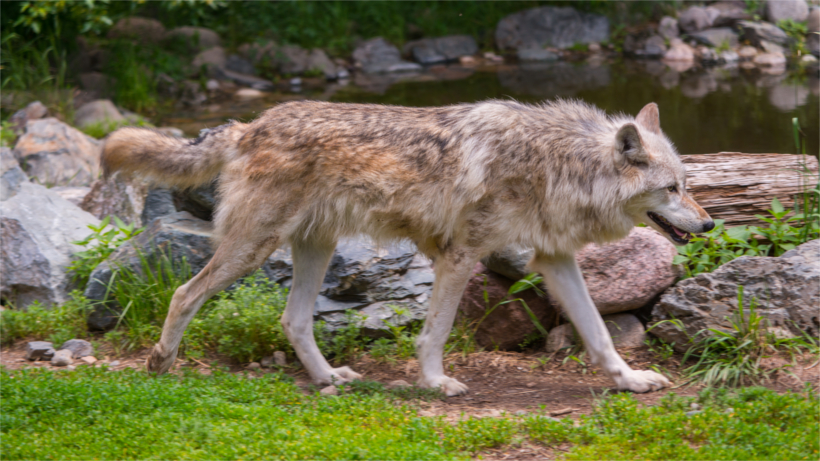 Population of Mexican gray wolves on the rise