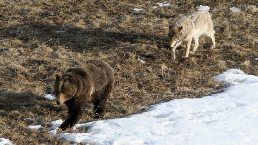 Wolf following grizzly bear